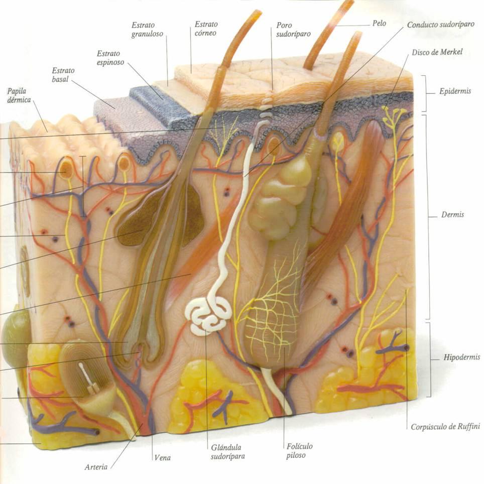 Cuáles son las diferentes capas de la piel? – Colafit Colombia